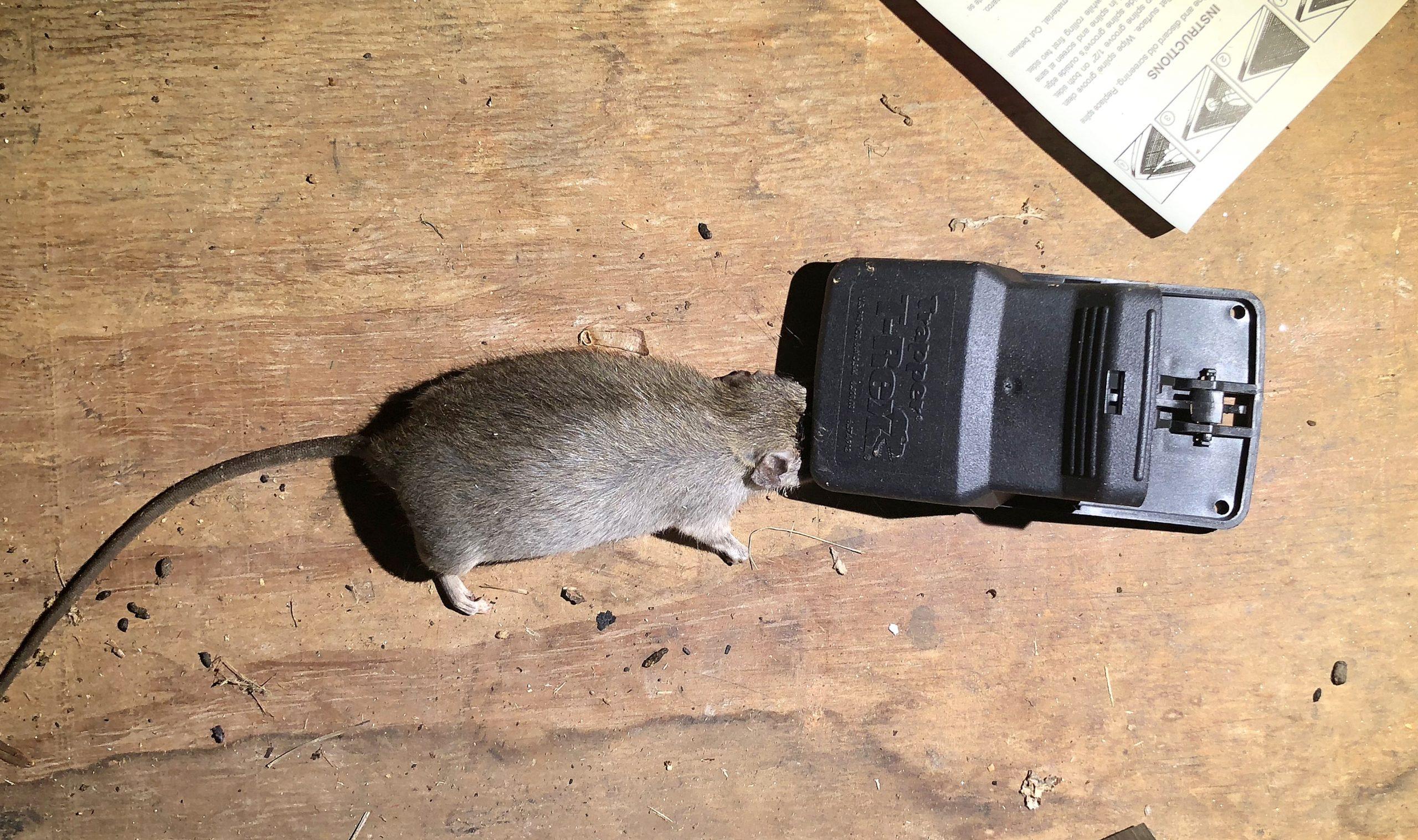 attic_rat