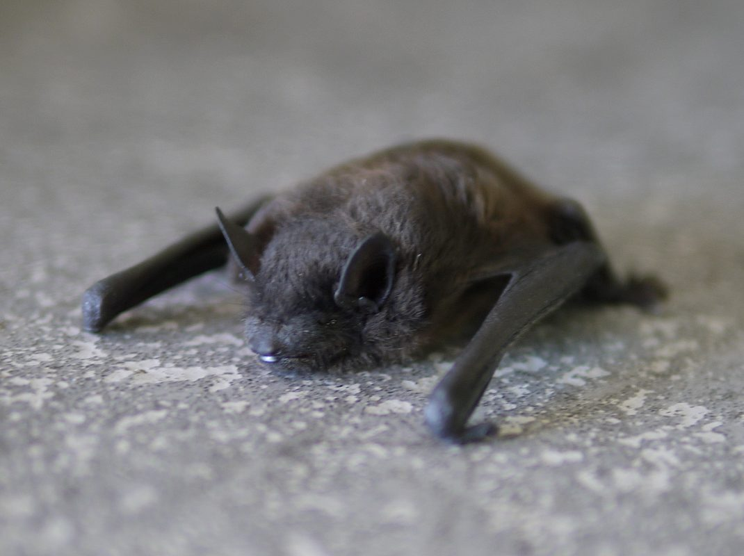 bat_removal